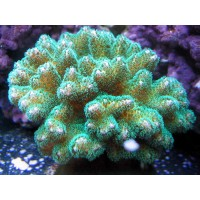 Pocillopora (Поцилопора зеленая)